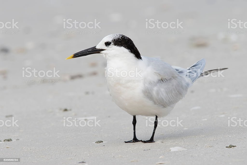 Sandwich Tern in winter plumage on a Florida beach royalty-free stock photo