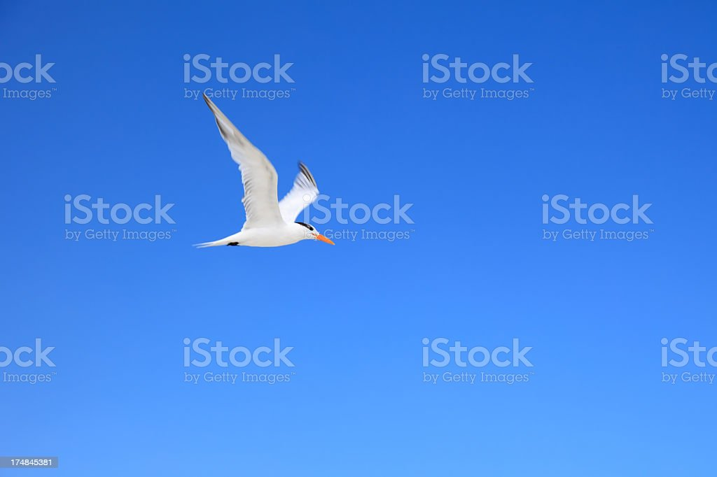 Sandwich Tern royalty-free stock photo