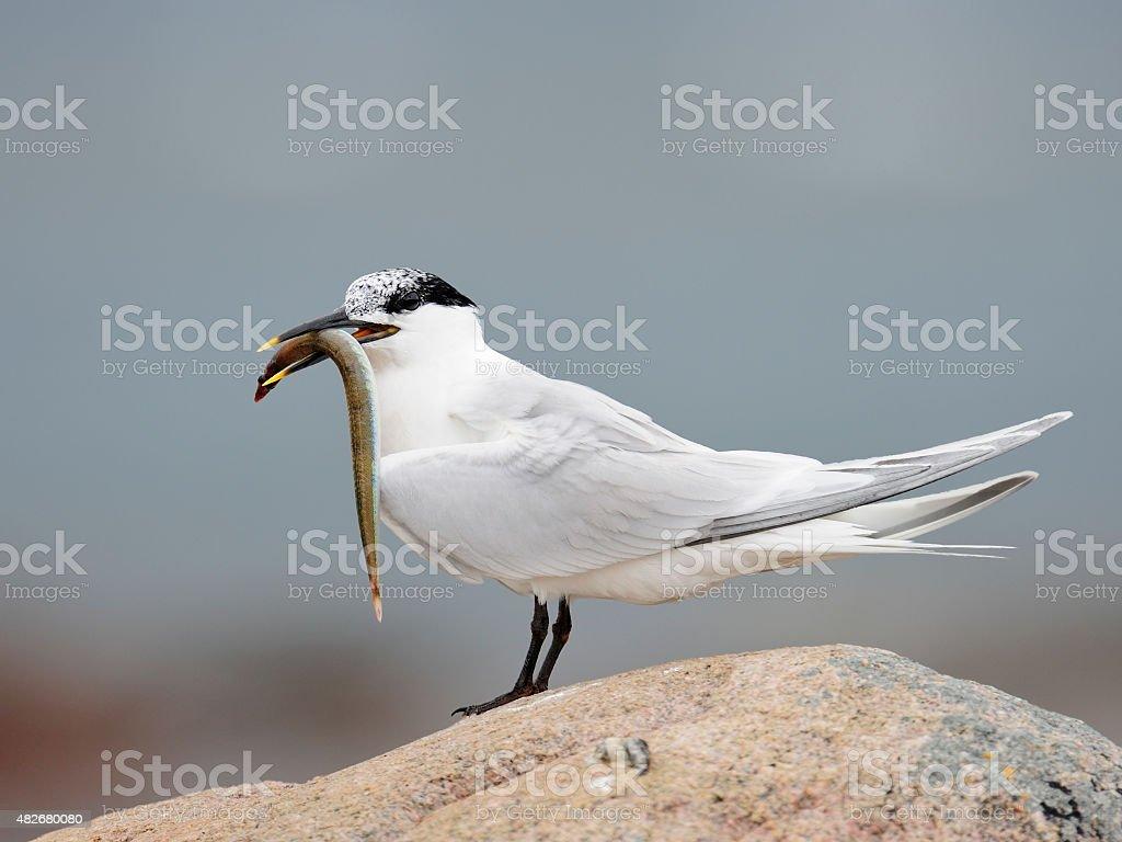 Sandwich Tern stock photo