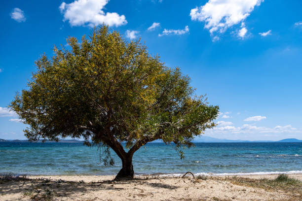 Sandy beach with tamarisk, tamarix or salt cedar tree. Blue sky background. Greek island sandy beach with shade from a yellow blooming tree at seaside sunny day. Summer destination Greece. Where clear blue sky meets blue calm sea tamarix tree stock pictures, royalty-free photos & images