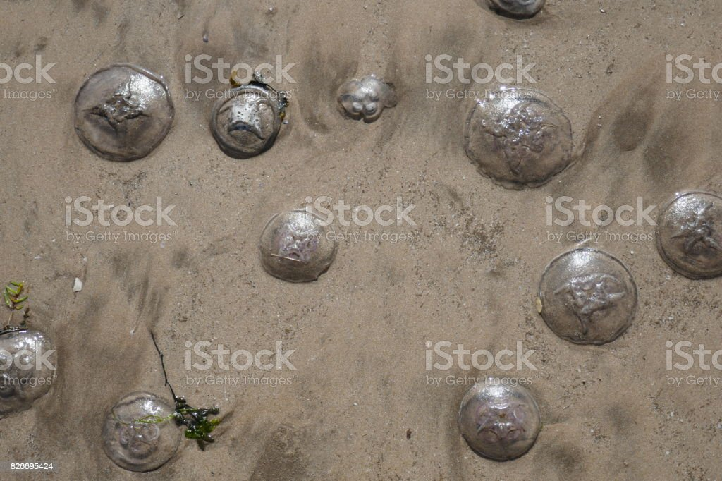 Sandy Jellyfish on a Beach stock photo