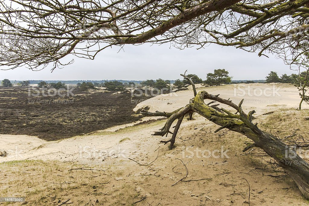 Sandy Pine forest stock photo