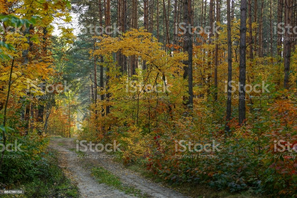 Sandy road along the pines and vegetation with colored leaves royalty-free stock photo