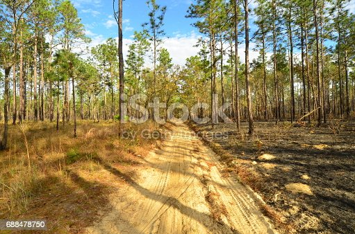 A sand road separates a pineland into burned and unburned areas. Photo taken in Citrus county, Florida