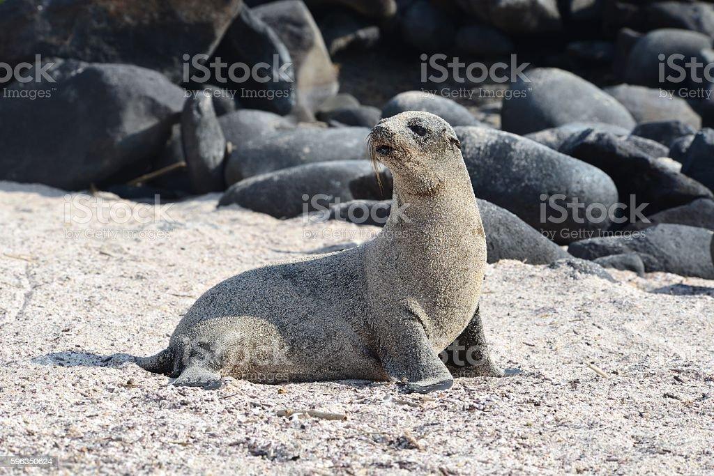 Sandy Sea Lion royalty-free stock photo