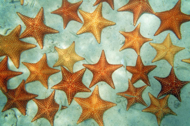 Sandy seabed with starfish in the Caribbean sea stock photo