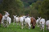 Saneen Goats Grazing on Fresh Luscious Grass - stock photo