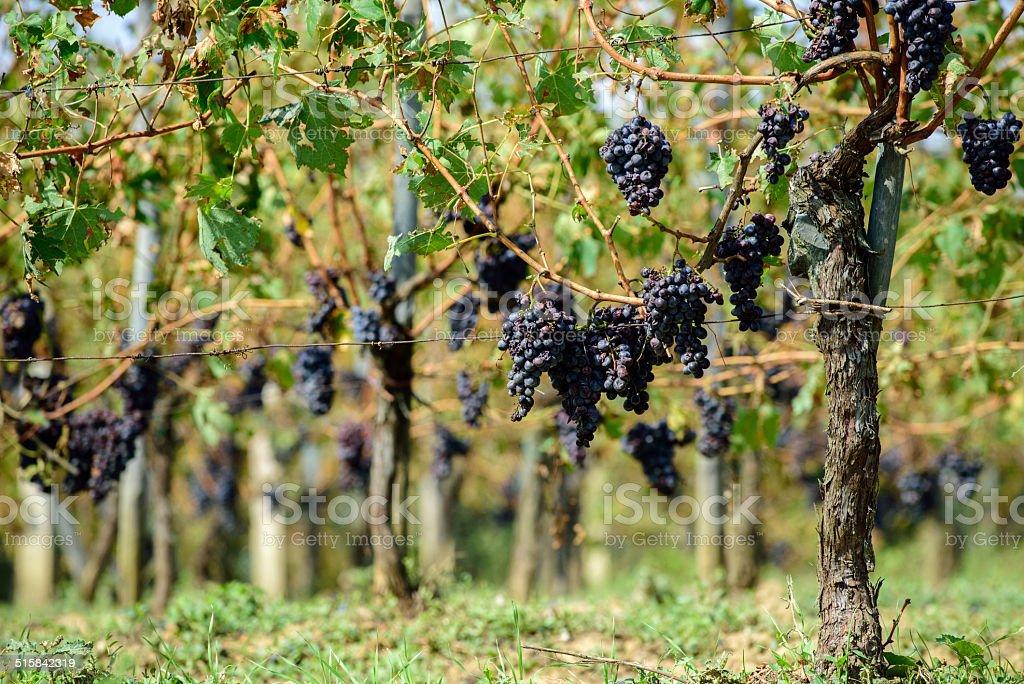 Sangiovese grapes in Montalcino, Italy stock photo