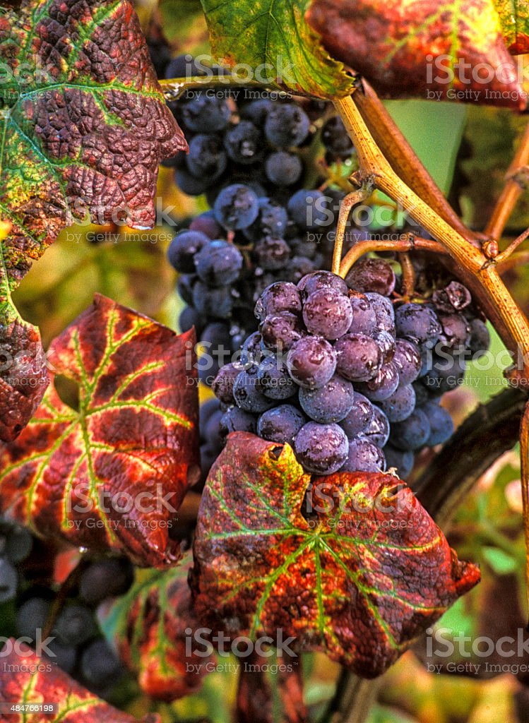 Sangiovese grapes in Tuscany - close up stock photo