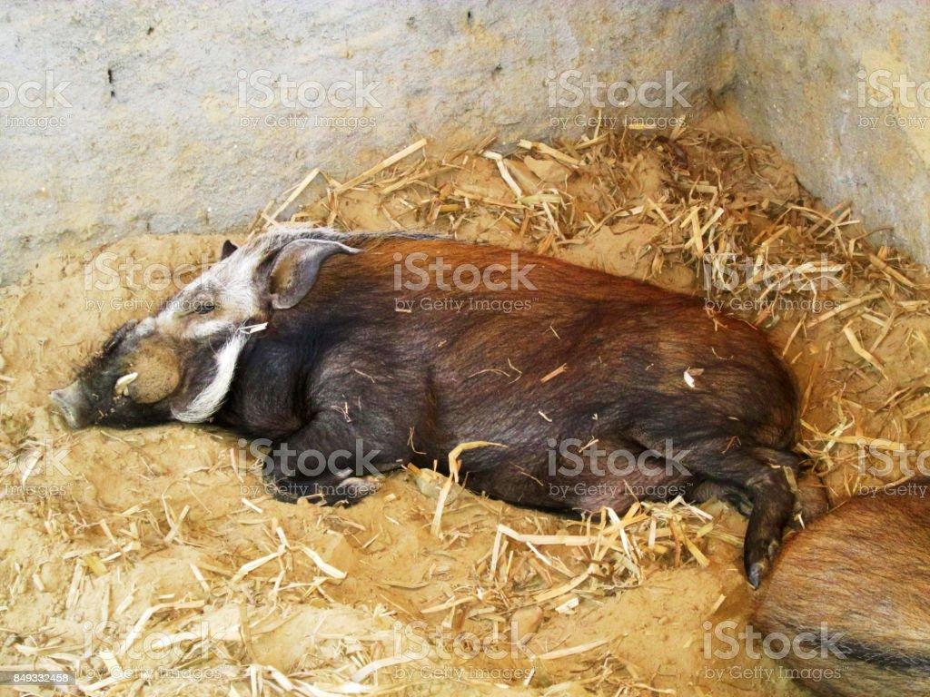Sanglier ou potamochère sauvage de Madagascar stock photo