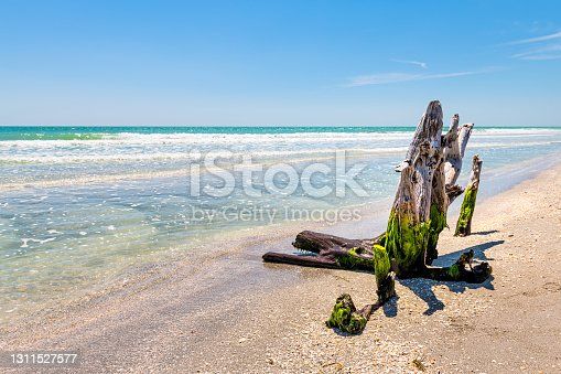 istock Sanibel Island, Florida, USA Bowman's beach with damaged hurricane dead tree trunk in green seaweed by colorful turquoise water on sunny day by ocean Gulf of Mexico water 1311527577