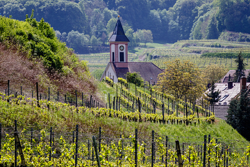 Sankt Romanus church nearby Badberg in Kaiserstuhl, Germany. Looking at the tower through the wineyard on a beautiful spring morning.
