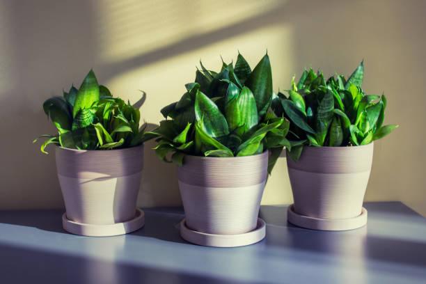 Sanseviera in pots stock photo
