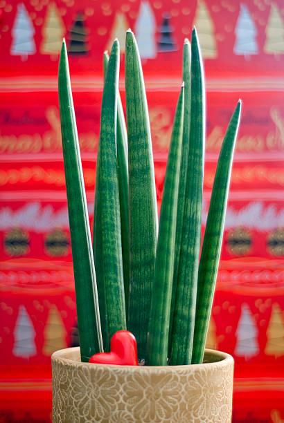 Sansevieria cylindrica mit Herz – Foto
