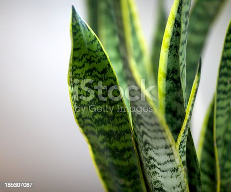 Close-up of houseplant sansevieriahttp://www.massimomerlini.it/is/backgrounds.jpg