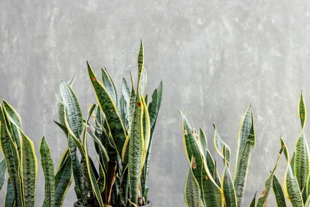 Sansevieria mit Betonwand – Foto