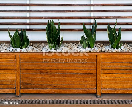 """A row of Sansevieria Trifasciata plants in a wooden planter in front of a screen. Beach pebbles cover the soil in the planter and add some decoration. Sansevieria Trifasciata is also known as """"Mother-in-law's Tongue"""", Viper's Bowstring Hemp or Variegated Snake Plant."""