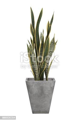 Sansevieria trifasciata or Snake plant in concrete cement gray pots