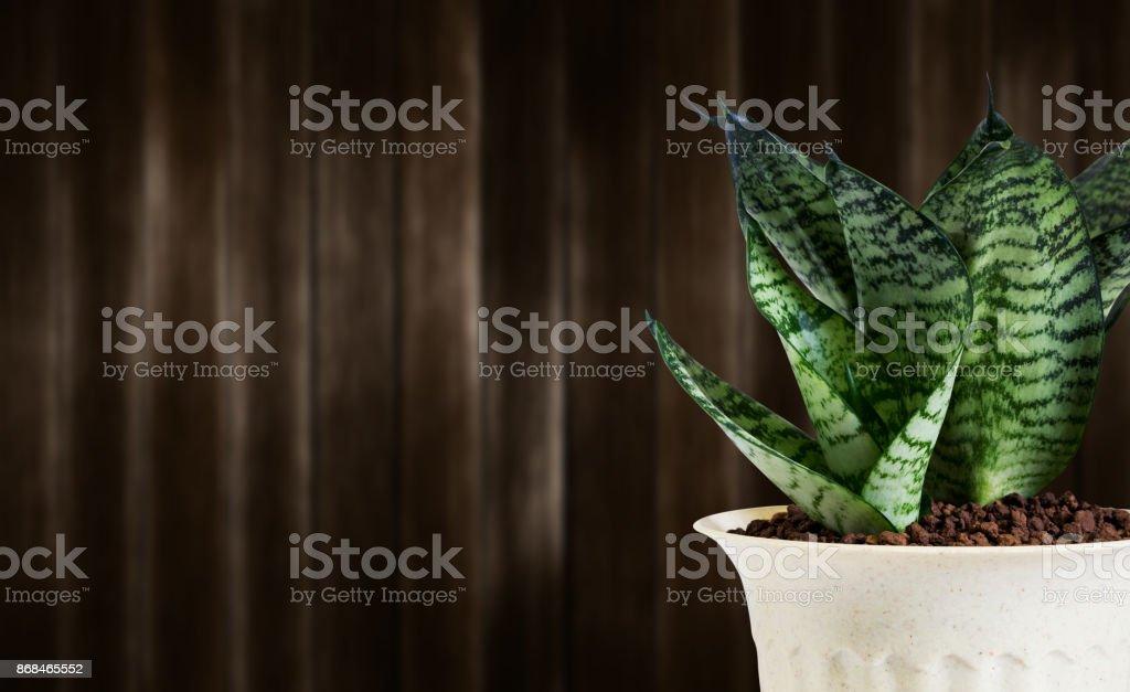 Sansevieria Trifasciata oder Schlange Pflanze im Topf auf Holz Hintergrund – Foto