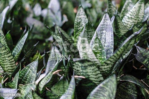 Sansevieria trifasciata or Snake plant in the garden