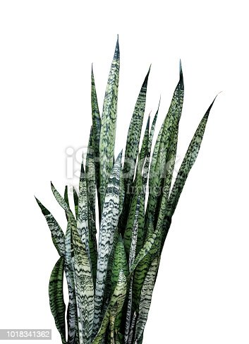 Sansevieria trifasciata or Snake plant isolated on white background with clipping path