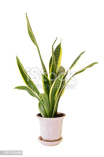 Sansevieria trifasciata, or the Mother-in-Law's Tongue in an old flowerpot isolated on white background.
