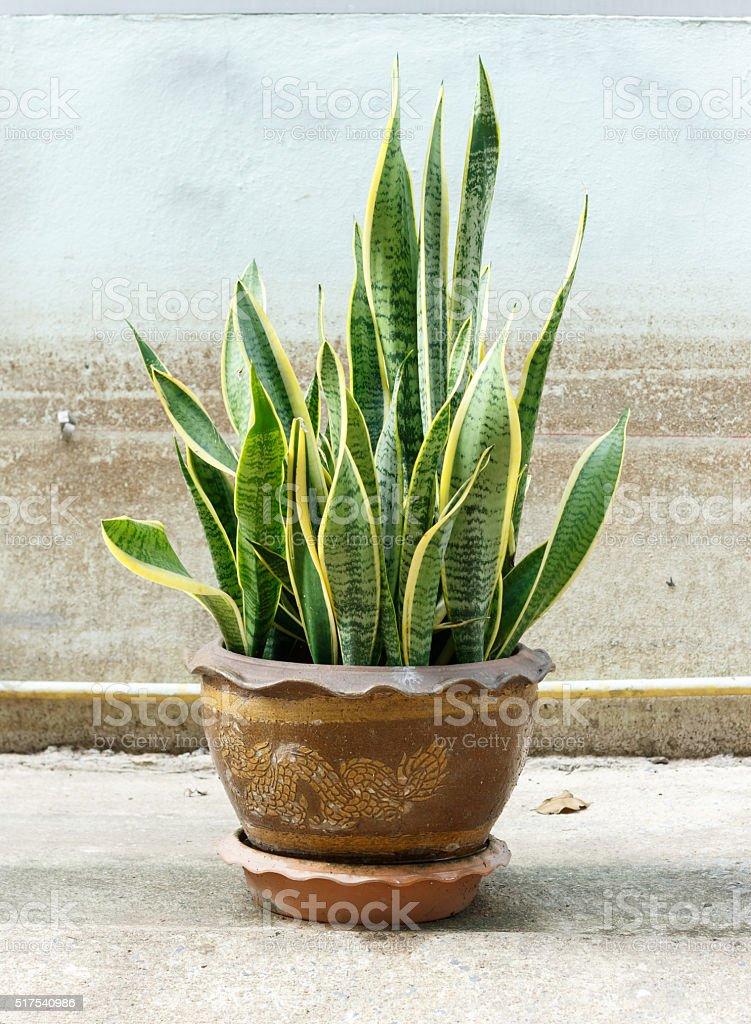 Sansevieria trifasciata - foto de stock