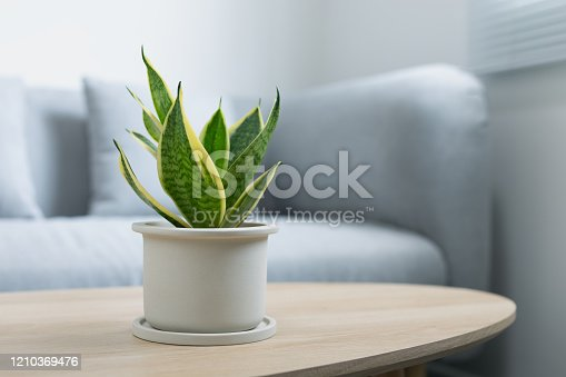 Decorative sansevieria plant on wooden table in living room. Sansevieria trifasciata Prain in gray ceramic pot.