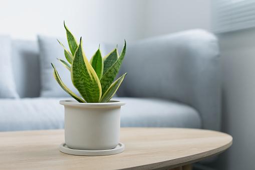 Decorative sansevieria plant on wooden table in living room. Sansevieria trifasciata Prain in gray ceramic pot.
