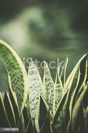 Sansevieria Trifasciata Prain , Mother in law tongue , Viper's bowstring hemp
