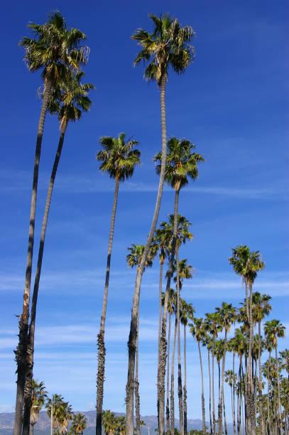 Santa Barbara Palms stock photo