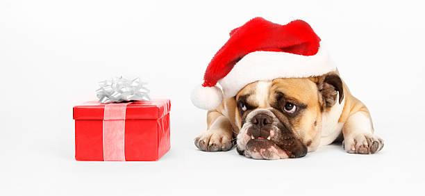 Santa bulldog wants to open his present stock photo