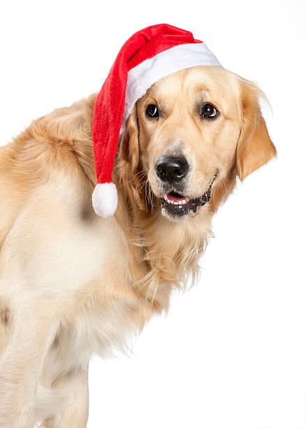 Santa Claus Hund-Golden retriever – Foto