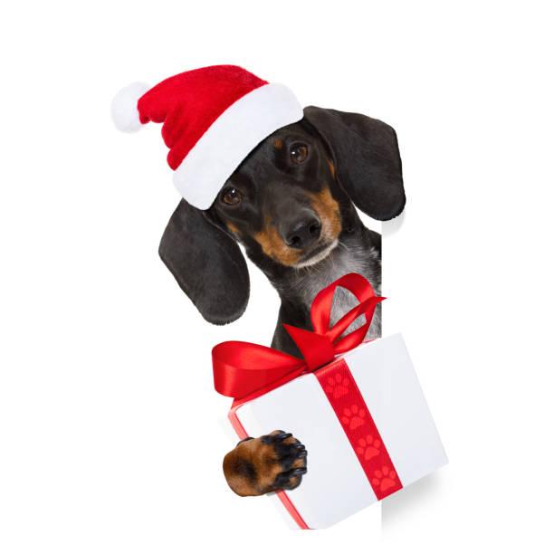 santa claus hund auf weihnachtsferien - coole liebessprüche stock-fotos und bilder
