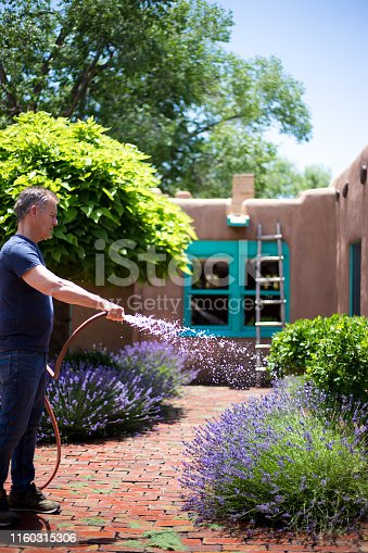 Santa Fe, NM: A man watering a courtyard full of lavender plants in a sunny interior courtyard of a traditional adobe house.