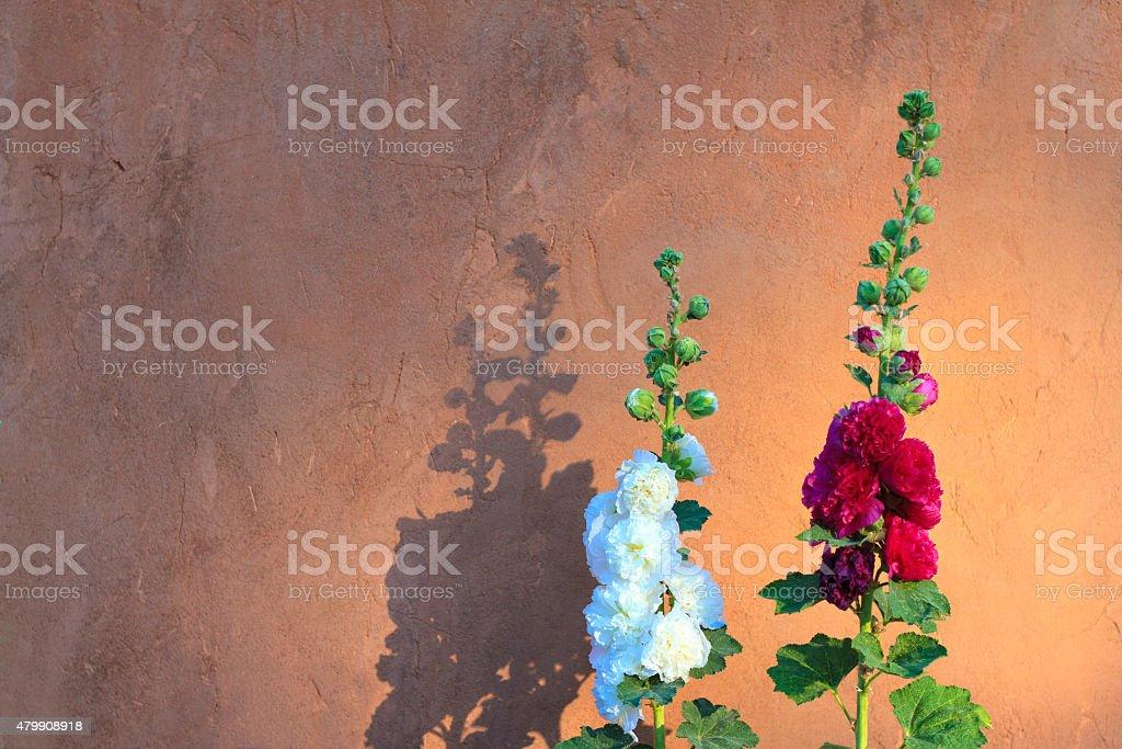 Santa Fe Style: Bright Hollyhocks, Adobe Wall, Morning Light stock photo