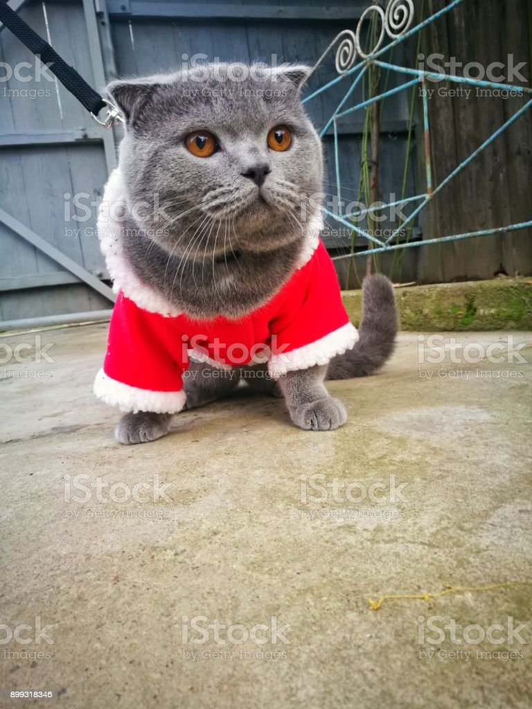Santa fur ball scottish fold dressed stock photo