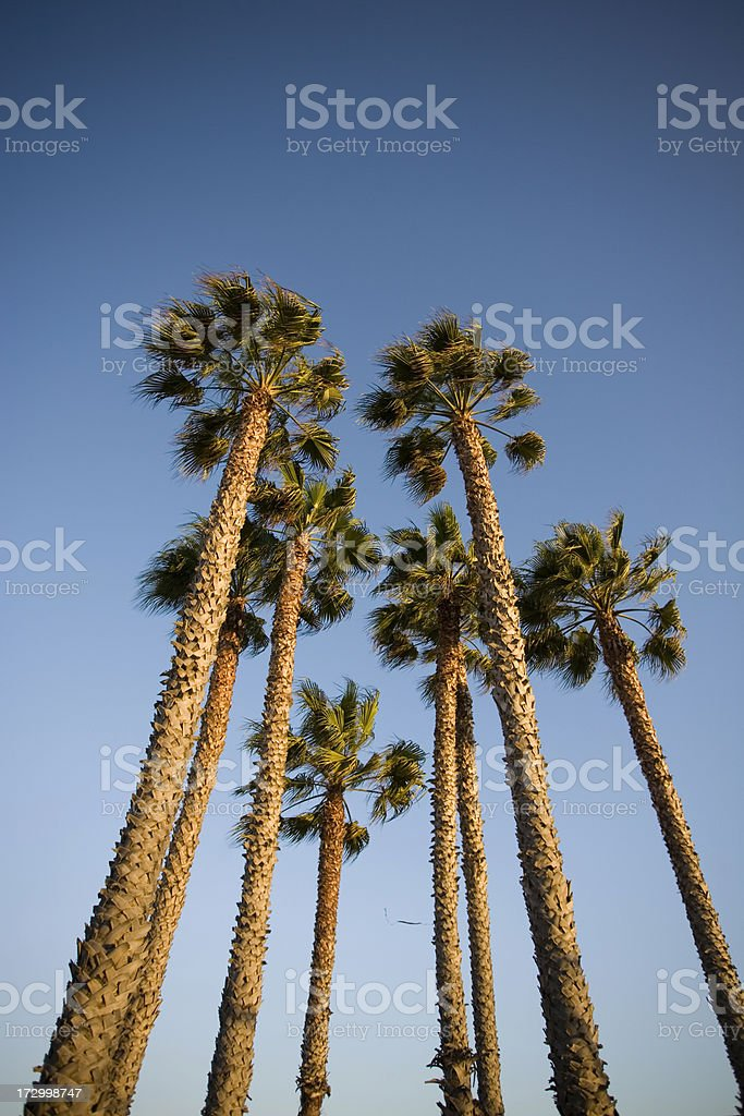 Santa Monica Palm Trees on a Clear Day royalty-free stock photo