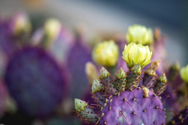 Santa Rita prickly pear Cactus stock photo