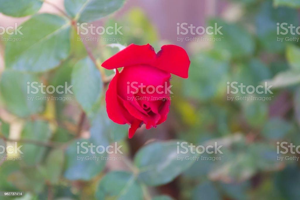 Santa Rosa, California snail, flowers. - Foto stock royalty-free di Agricoltura
