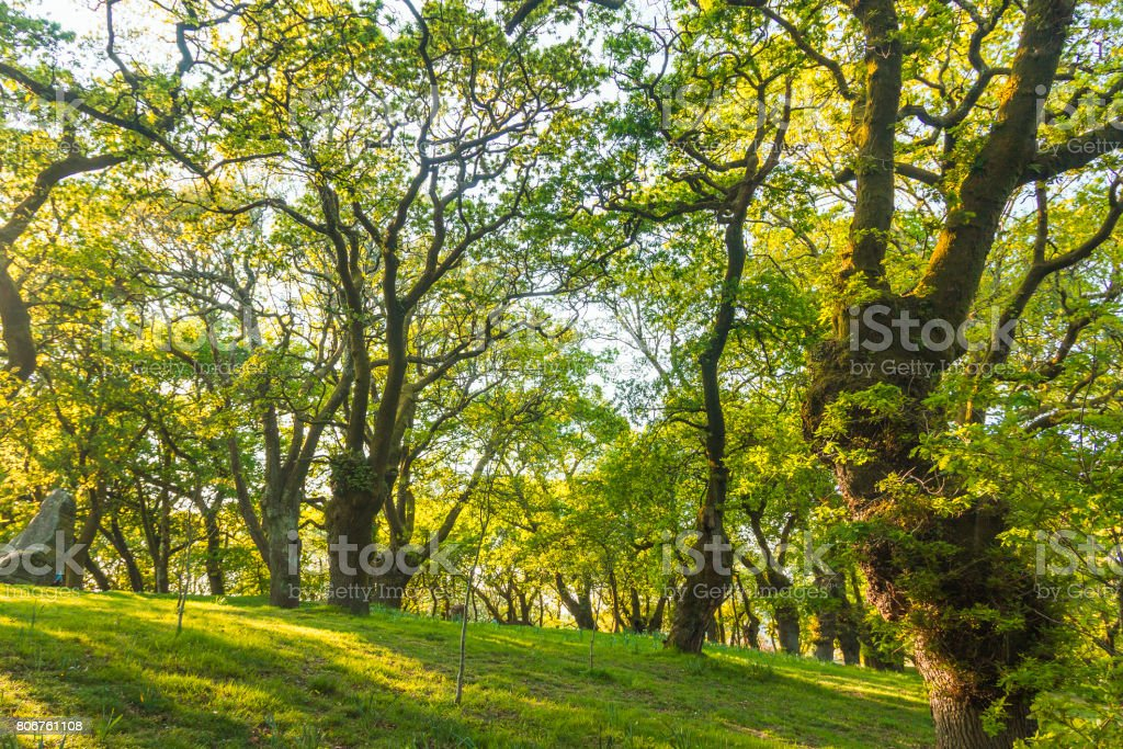 Santa Susana oak forest royalty-free stock photo