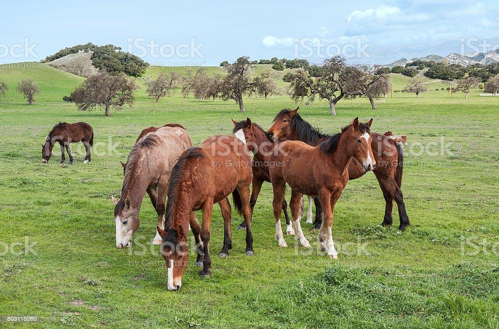Santa Ynez Horses stock photo