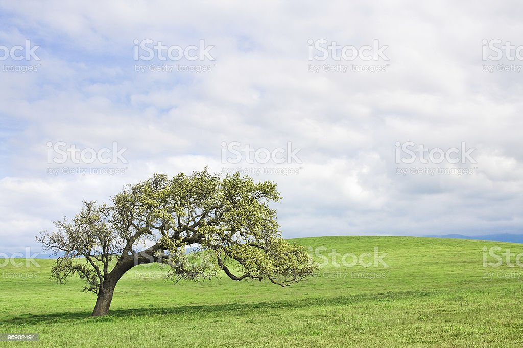 Santa Ynez Oak royalty-free stock photo
