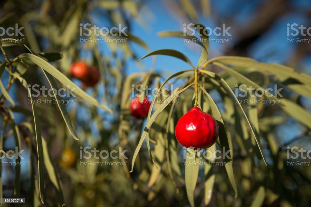 Santalum acuminatum,  desert bush tucker peach quandong.  Australian natine fruit stock photo