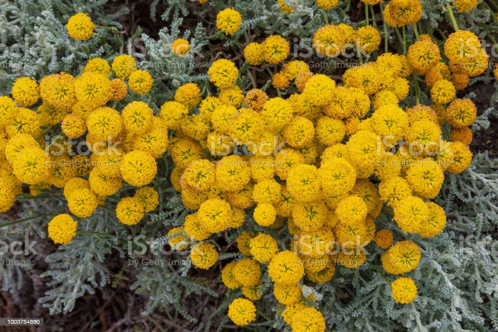 Fotografia De Santolina Chamaecyparissus Tradicional Planta