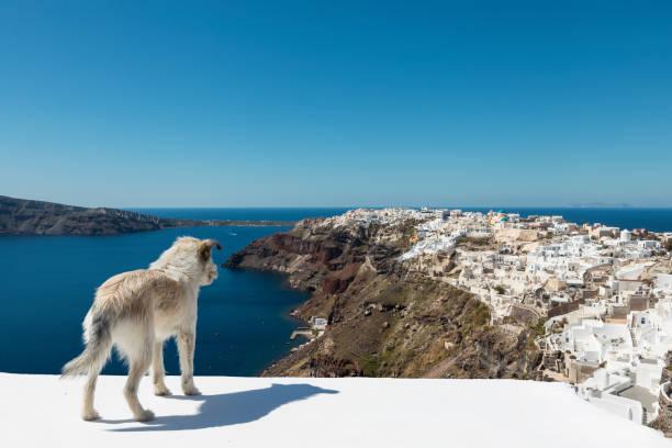 Santorini Stray Dog stock photo