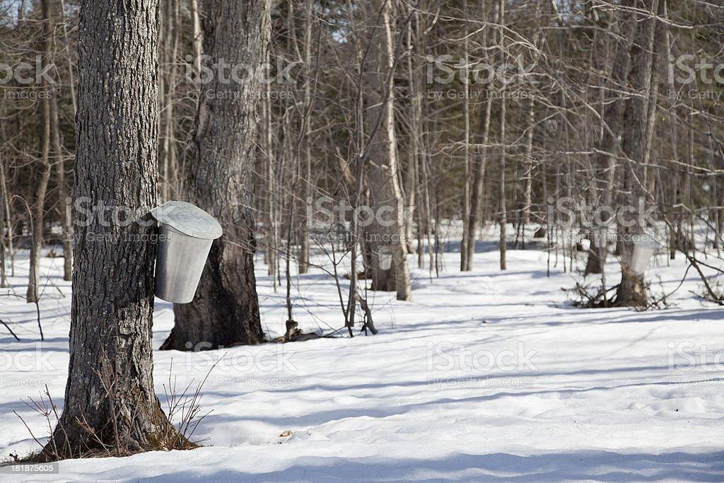 Sap Buckets in Spring Maple Bush royalty-free stock photo