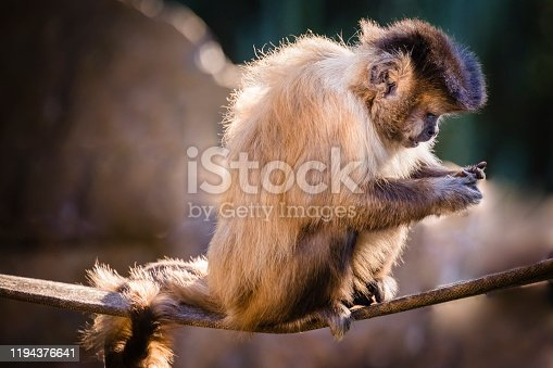 Sapajus capuchin Monkey, sit down on the branch, looking at cell phone!  Pantanal wetlands, Brazil