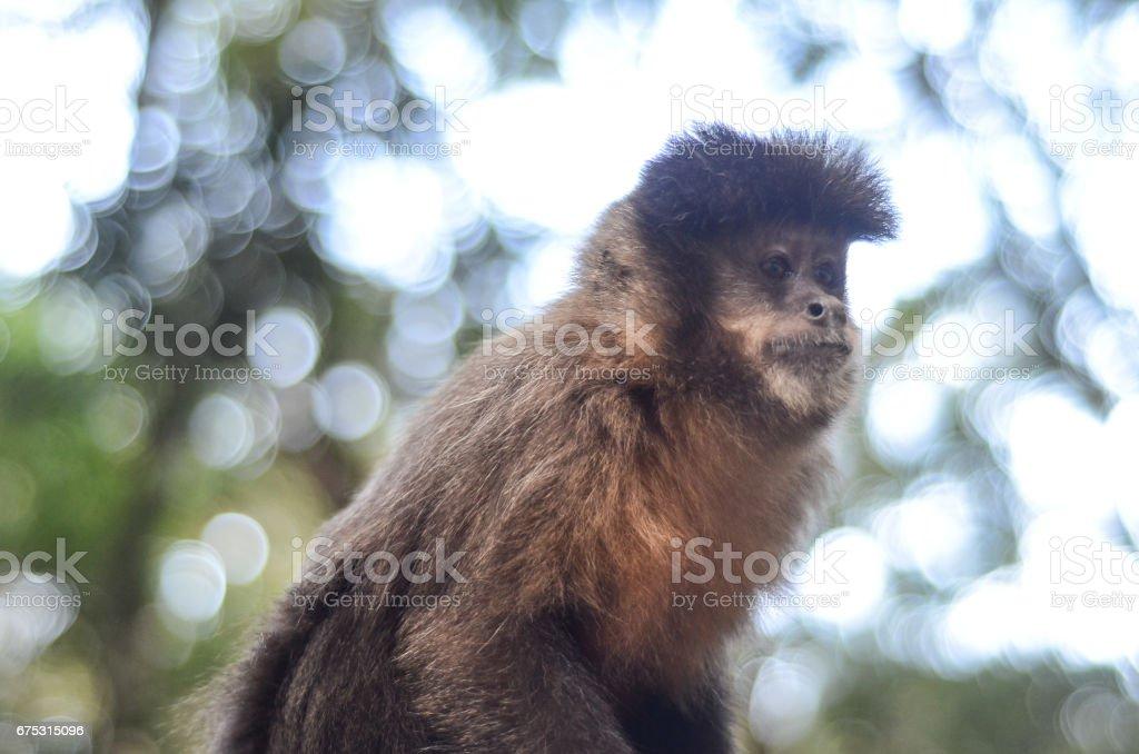 Sapajus Nigritus macaco-prego mico-preto stock photo