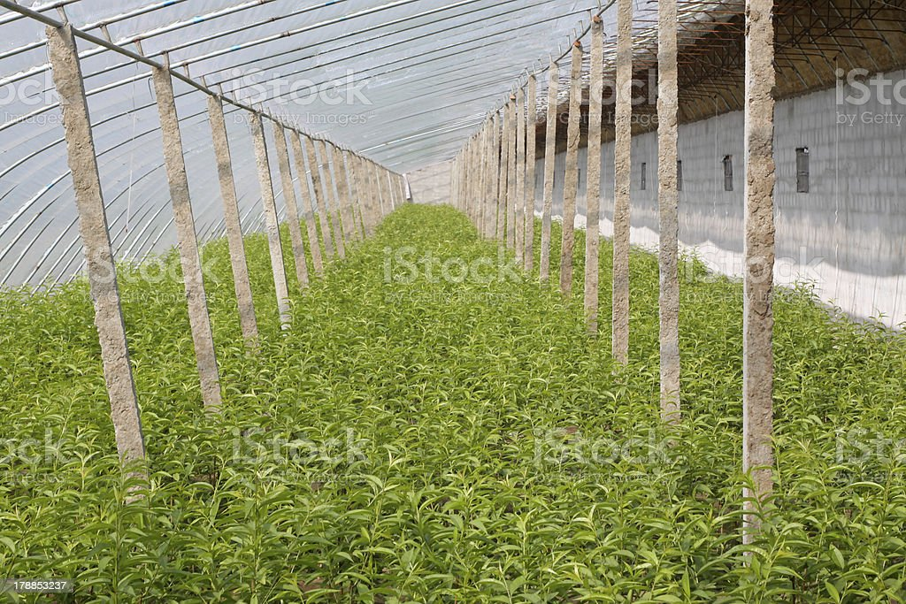 sapling in a greenhouse royalty-free stock photo